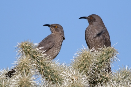 Curved-billed Thrashers
