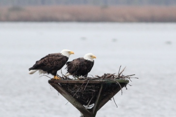 Bald Eagles, from another day