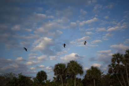 Brown Pelicans at Pelican Bay