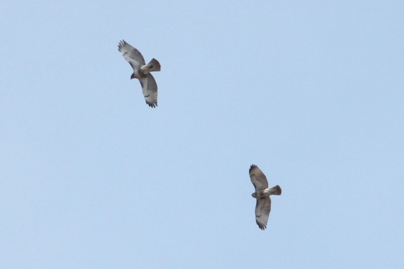 Soaring Red-tailed Hawks