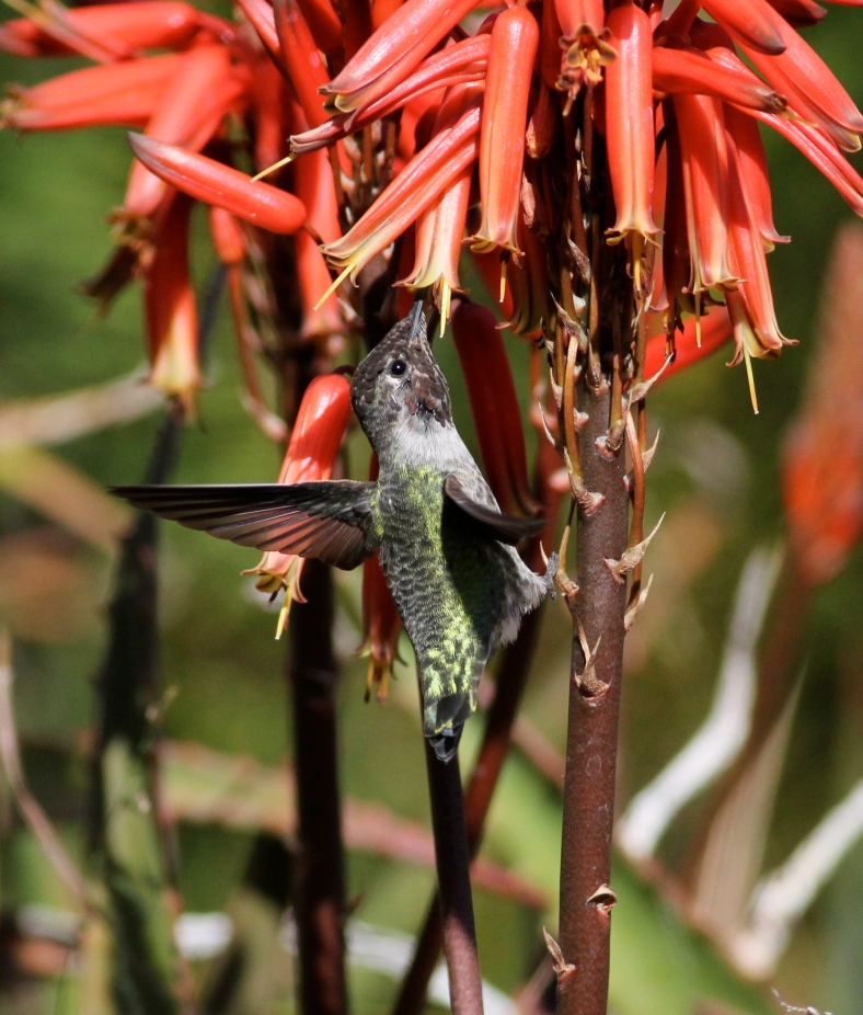 Anna's Hummingbird.  Wings now sharp with shutter speed of 1/3200 sec.