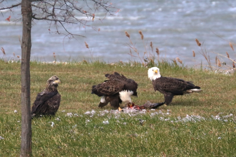Adult Bald Eagles at lunch, while the juvenile waits his turn at the table