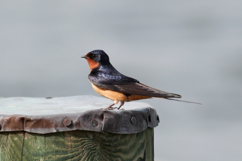 Barn Swallow.  Note pleasing Bokeh from narrow field of view, F5.6, and sharp focus on eye.