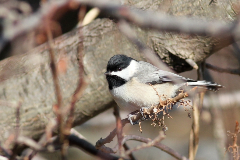 Carolina Chickadee