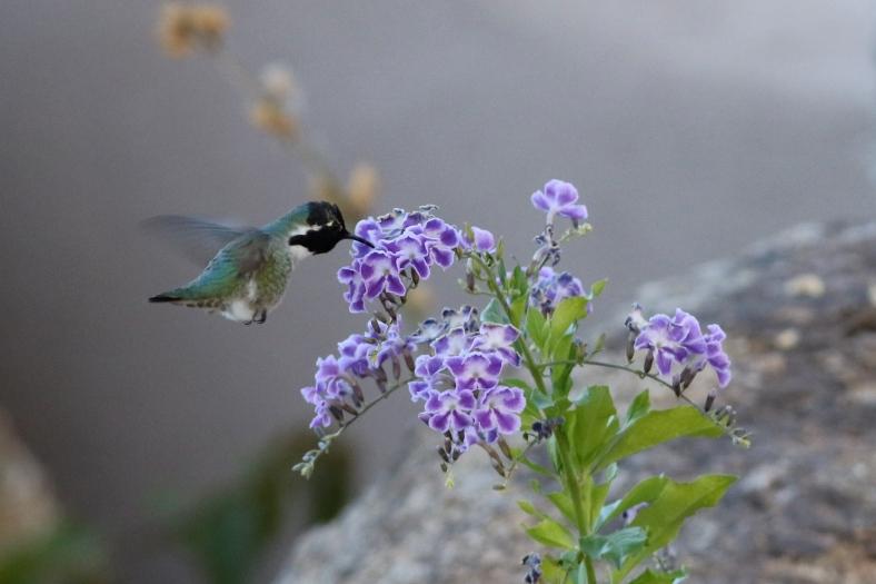 Costa's Hummingbird.  Notice wing blur at shutter speed of 1/320 sec.