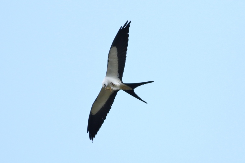Swallowtail Kite with frog lunch