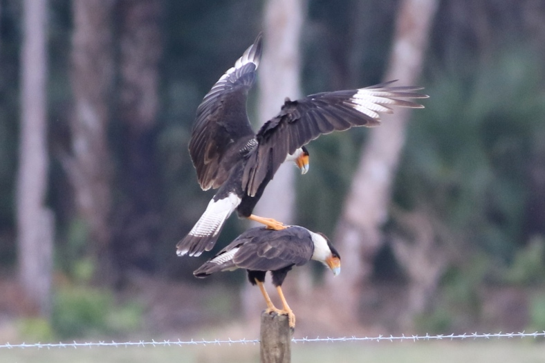 Crested Caracara sharing an intimate moment