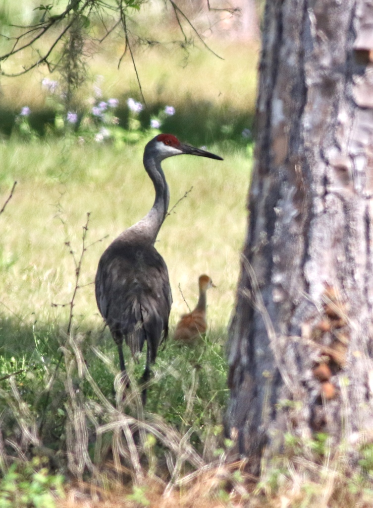 Sandhill Crane with youngster