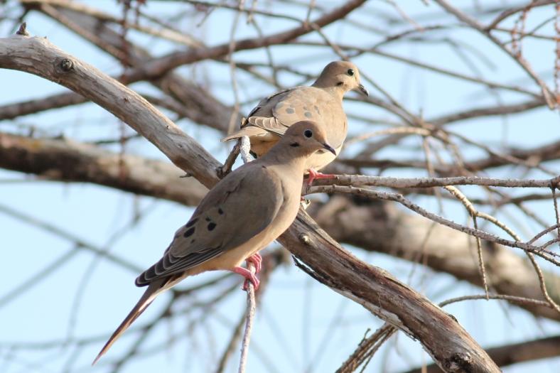 Mourning Dove, Zenaida macroura