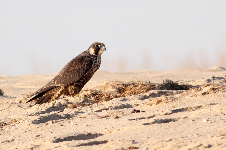 Peregrine Falcon, sorry, I do not have a photo of a Goshawk, but the Peregrine is a close but smaller cousin.