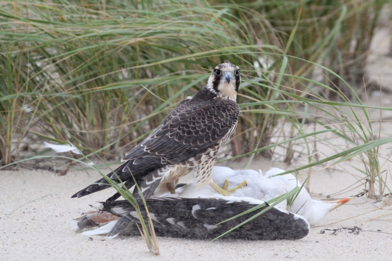 Peregrine Falcon with recent kill