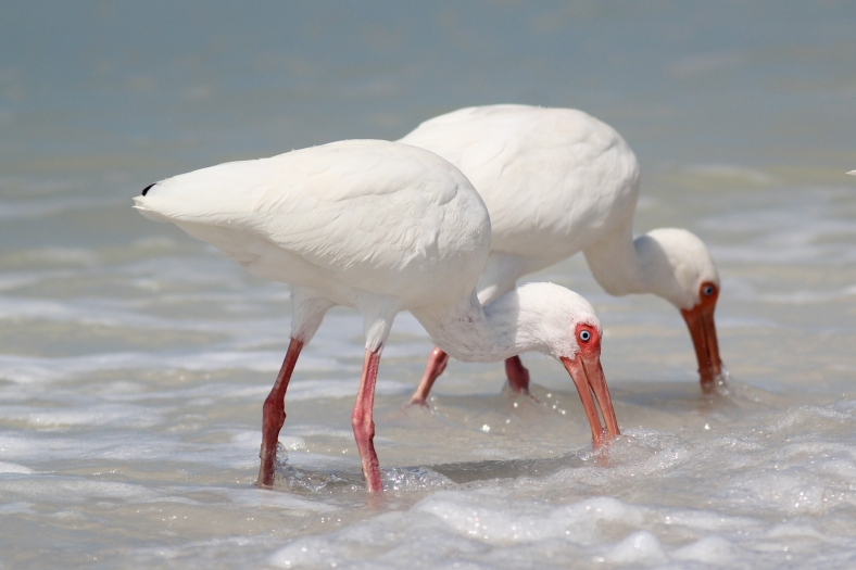 White Ibis.  White bird needing significant negative exposure compensation.  Even with this white feathers on back are overexposed.