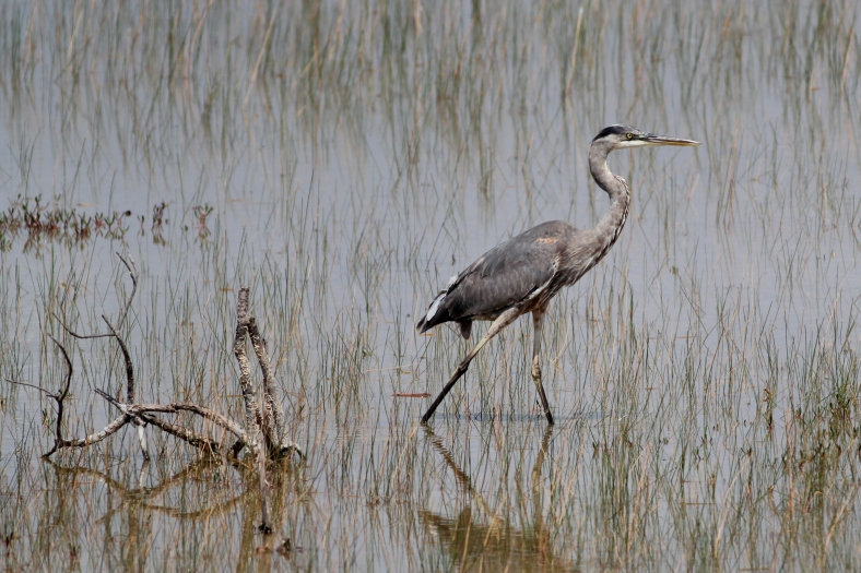 Great Blue Heron 3816