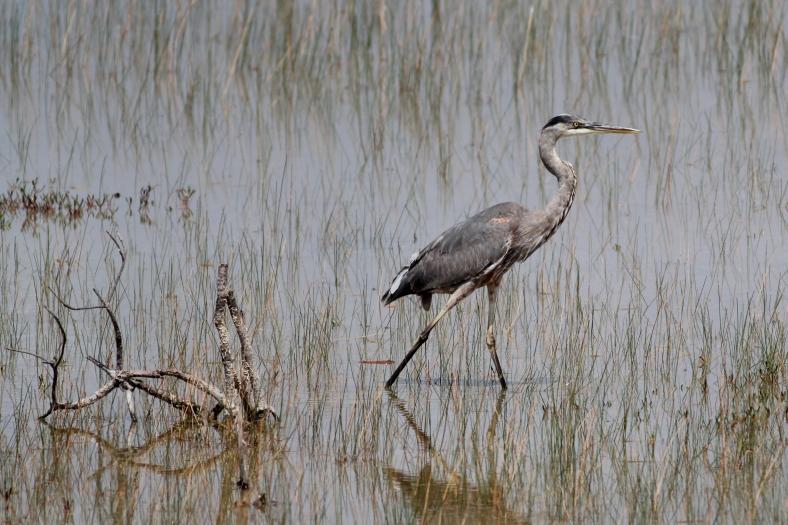 Great Blue Heron 3816