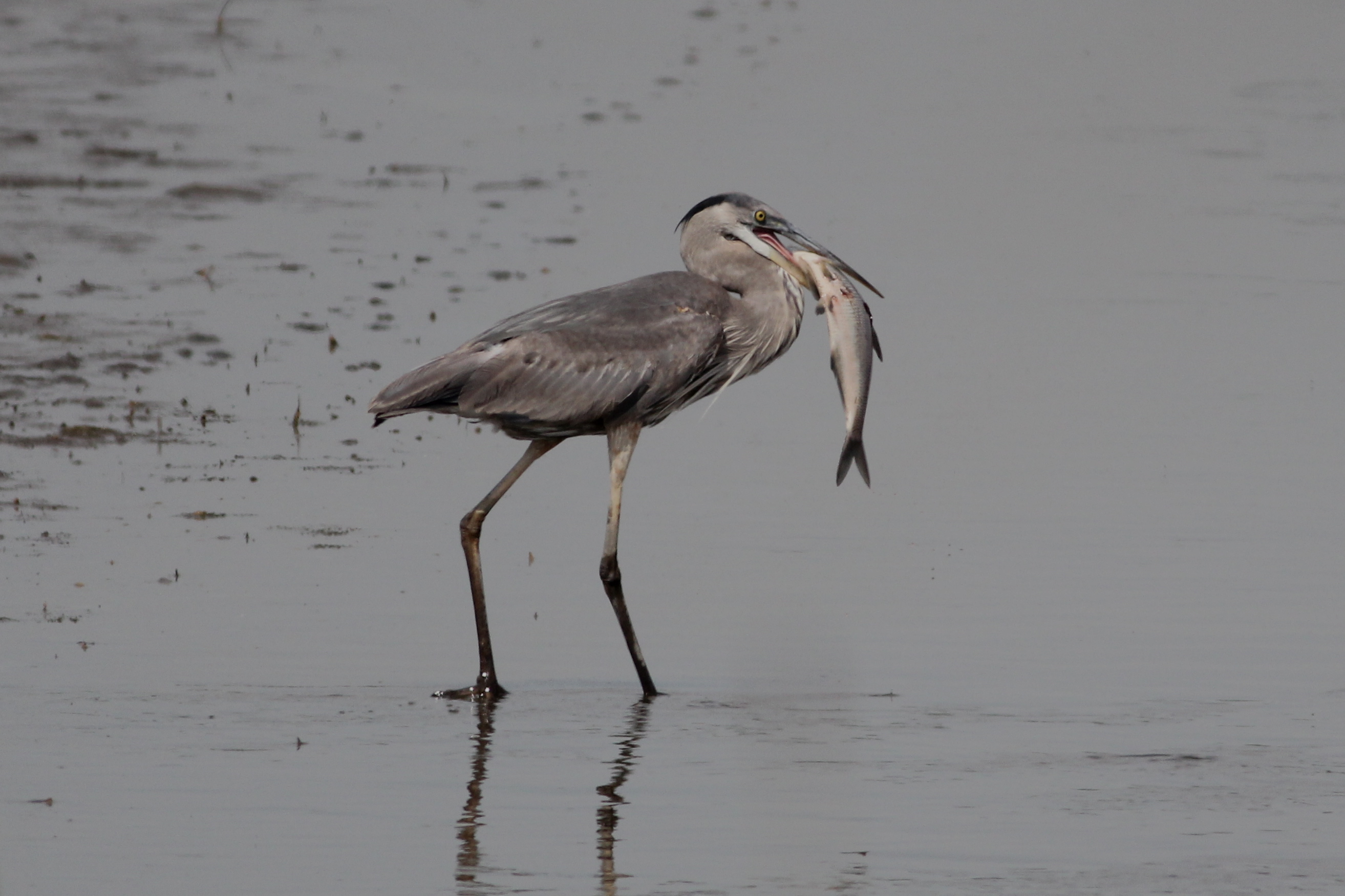 The Great Blue Heron 61