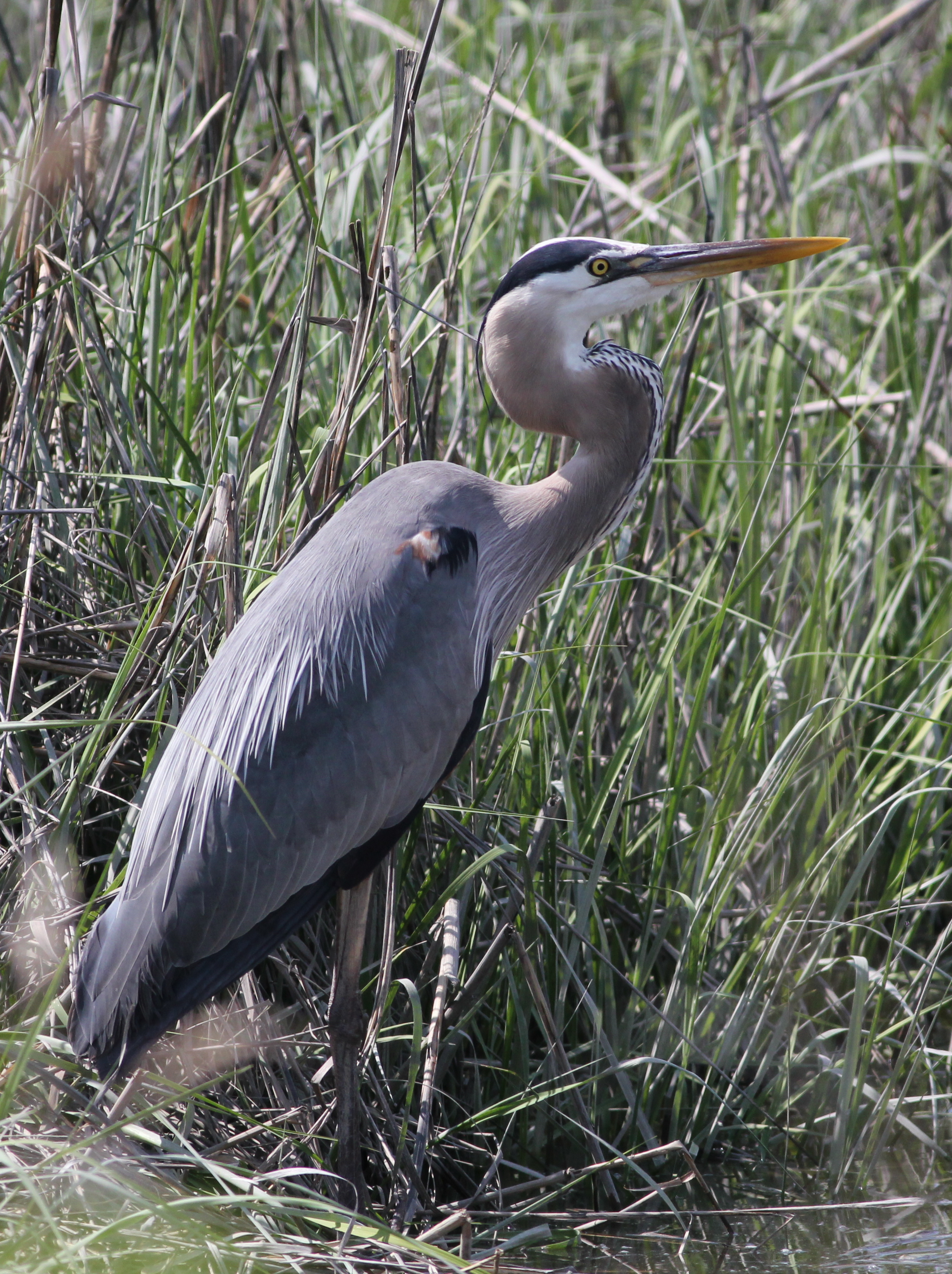 The Great Blue Heron 14