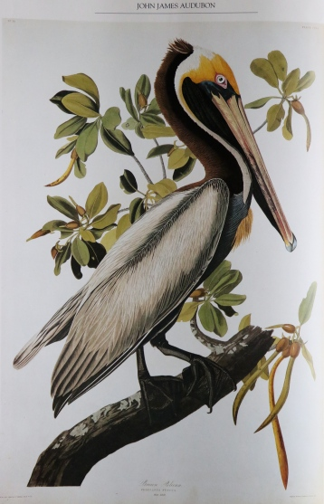 Brown Pelican,  J. J. Audubon