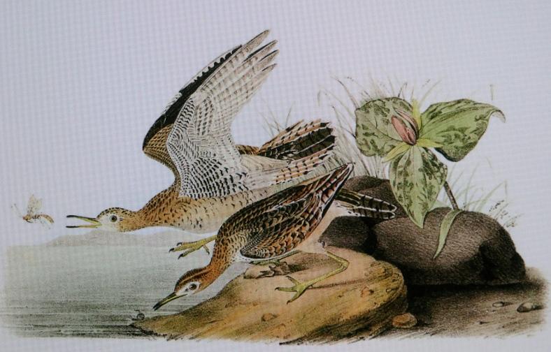 Upland Sandpipers, James Audubon