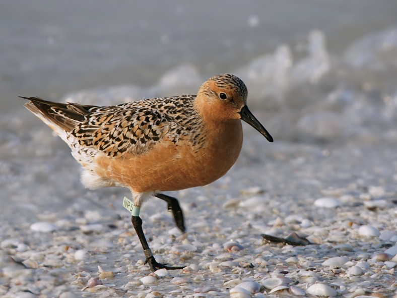 Red Knot; photo courtesy of Hans Hillewaert