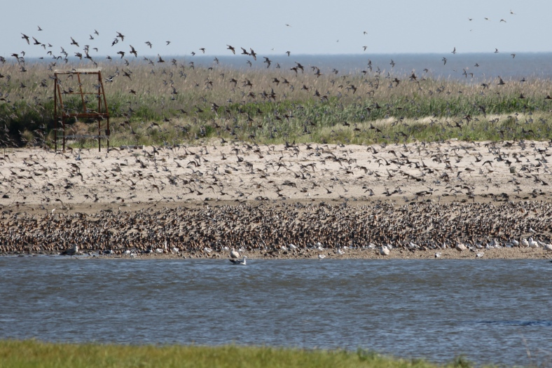 Shorebird Frenzy;  The Red Knots are grouped near the waterline
