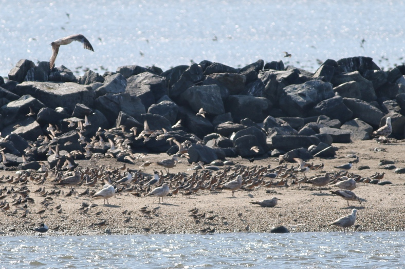 Red Knots and friends at breakwater, Mispillion Harbor