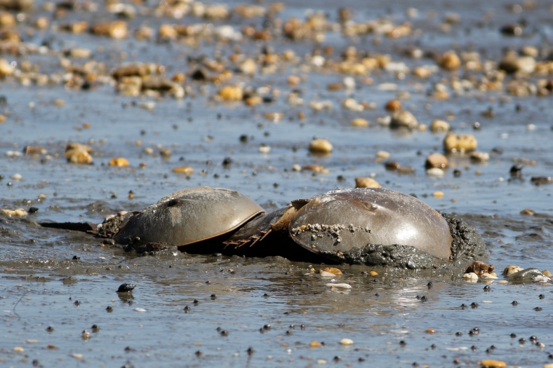 Horseshoe Crab; female with male in tow