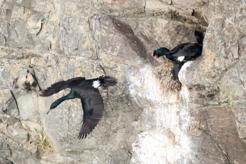 Pelagic Cormorants nesting and clinging to the cliff