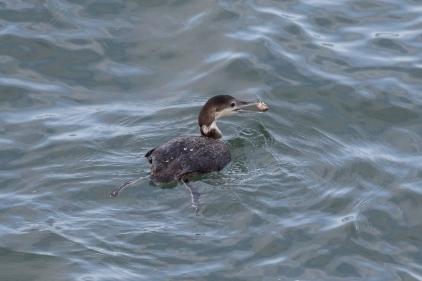 The Loon coming up from a successful dive