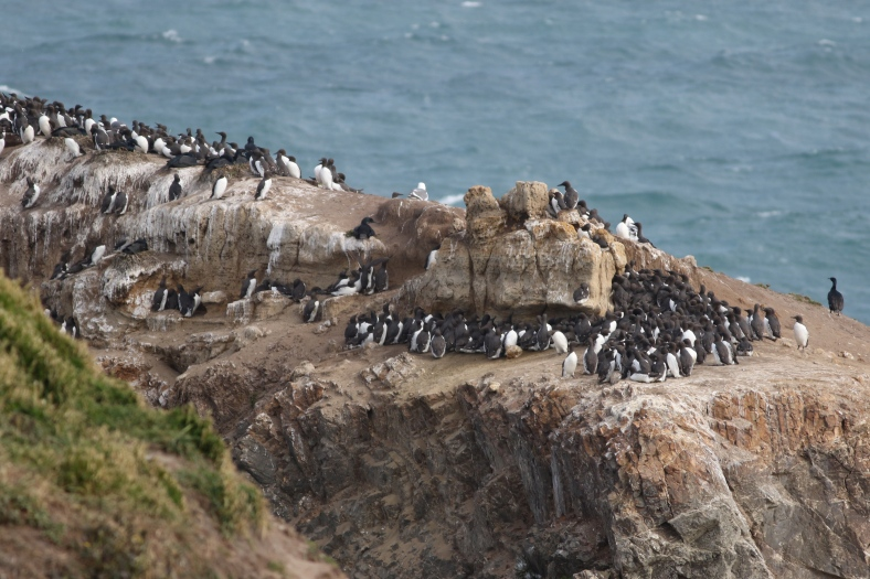 Common Murres & friends