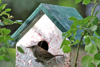 House Wren at new house