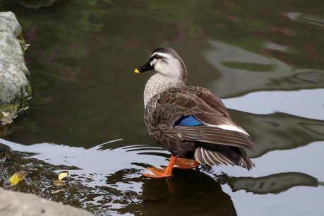 Spot-billed Duck, Japan
