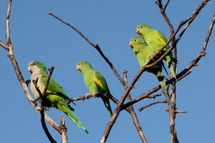 Canary-winged and Monk Parakeets