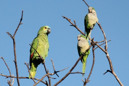 Turquoise-front Parrot and Monk Parakeet