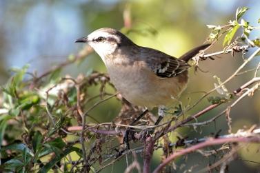 Chalked-brown Mockingbird