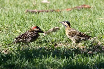 Green-barred Woodpecker, Colaptes melanochloros