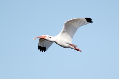 White Ibis,