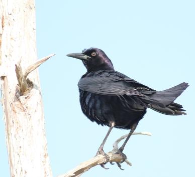 American Crow, Corvus brachyrhynchos