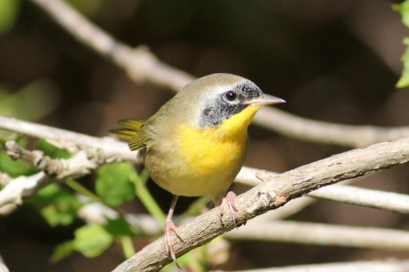 Common Yellowthroat, Geothlypis trichas, in winter Florida plumage
