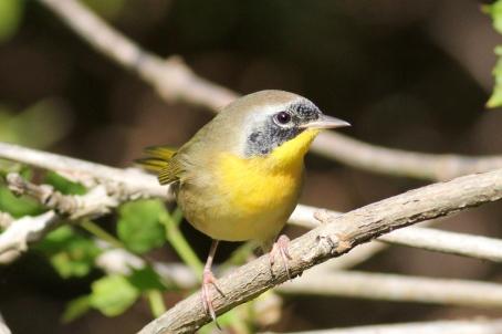 Common Yellowthroat, Geothlypis trichas, in winter Florida plumage