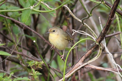Common Yellowthroat (female), Geothlypis trichas