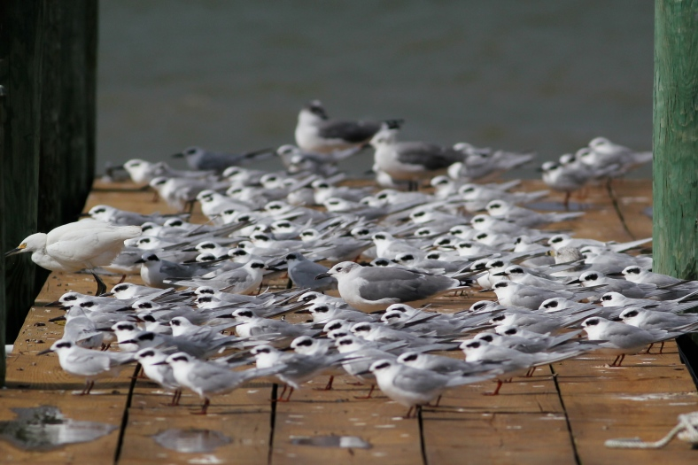 Forster's Terns, Sterna forsteri, along with Laughing Gulls and Snowy Egrets on my dock