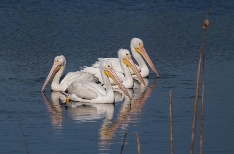 American White Pelican, Pelecanus erythrorhynchos