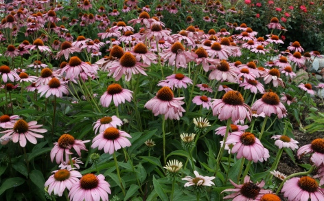 Coneflowers, a favorite seed and attraction for the finches