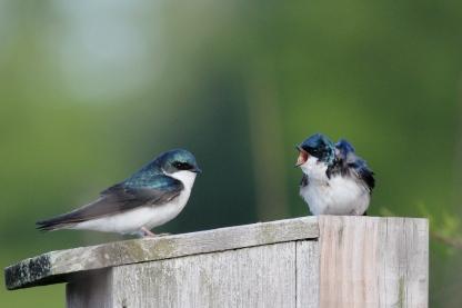 Tree Swallows, Tachycineta bicolor