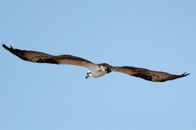 Osprey 5776