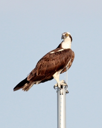 Osprey on my mast