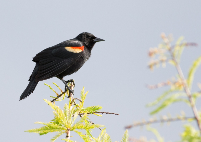 Red-winged Blackbird-0201