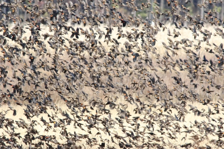 Mixed flock at Blackwater NWR
