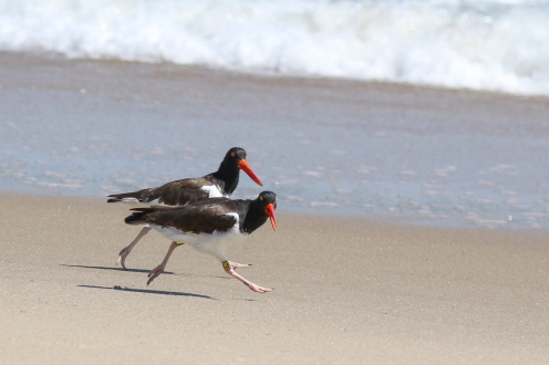 American Oystercatcher at Great Point, photo by S.M. Sternick