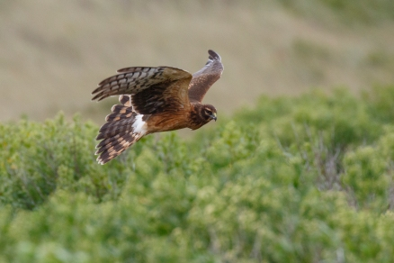 Northern Harrier, photo by Andy Sternick